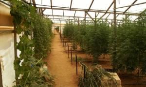 Ηράκλειο: Χασισοφυτεία με χιλιάδες δενδρύλλια εντοπίστηκε σε θερμοκήπιο