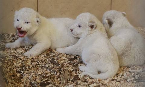 Πολωνία: Τέσσερα λευκά λιονταράκια γεννήθηκαν στον ζωολογικό κήπο του Μπόρισεφ (pics)