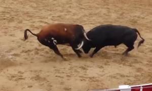 Απίστευτο βίντεο: Δύο ταύροι συγκρούονται «μετωπικά» και πεθαίνουν ακαριαία μέσα στην αρένα!