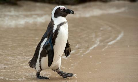 Απήγαγαν έναν... πιγκουίνο για να διαμαρτυρηθούν για την αιχμαλωσία των ζώων!