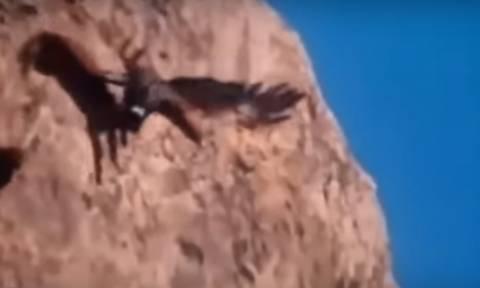 Απίστευτες επιθέσεις γυπαετών που αρπάζουν αγριοκάτσικα, λύκους, σαλάχια και... παιδιά (video)