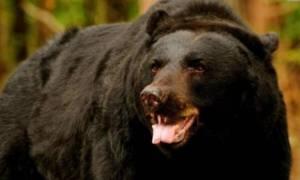 Περιγραφή και εικόνες που σοκάρουν: «Έτσι επέζησα από επίθεση αρκούδας!» (photos)