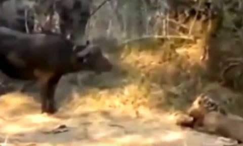 Σκληρές εικόνες: Θανατηφόρες... μάχες άγριων ζώων, προκαλούν σοκ (video)