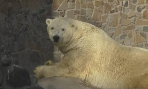 Πέθανε  ο ιστορικός αρκούδος της Ρωσίας - Διαβάστε γιατί ήταν τόσο ιδιαίτερος (videos)