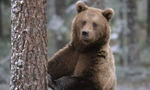 Ρουμανία: Σκότωσαν αρκούδα που περιπλανιόταν στην πόλη Σίμπιου
