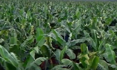 Εχετε δει πώς γίνεται η παραγωγή της μπανάνας; (video)