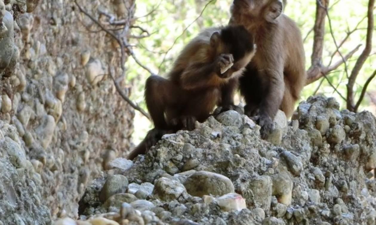 Μαϊμούδες σπάνε πέτρες για να φτιάξουν αιχμηρά εργαλεία και μας «κλέβουν» άλλη μια αποκλειστικότητα
