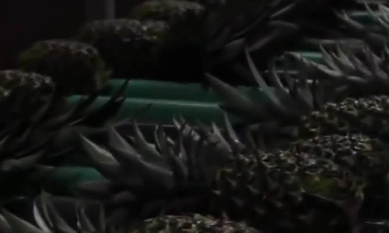 Εχετε δει ποτέ πώς γίνεται η παραγωγή και η επεξεργασία του ανανά; (Video)