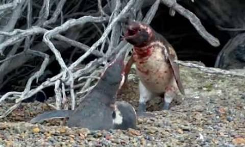 Απίστευτο: Πιγκουίνος έπιασε τη γυναίκα του στο κρεβάτι με άλλον και χύθηκε αίμα! Κυριολεκτικά (vid)