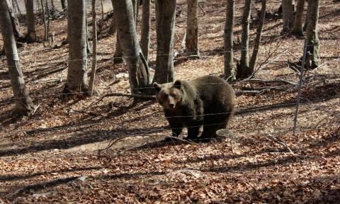 Αρκούδες βγήκαν για… περίπατο στην πόλη της Καστοριάς - Μεγάλη κινητοποίηση της αστυνομίας