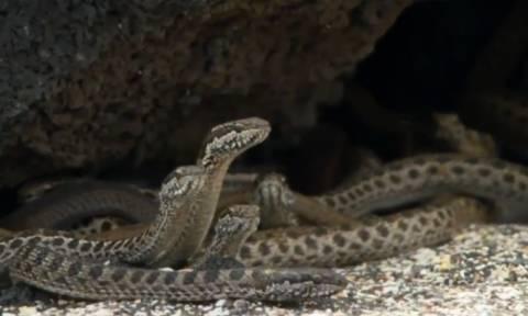 Το πραγματικό βίντεο του τρόμου με τα φίδια και το ιγκουάνα που δεν έδειξαν ποτέ! Τελικά... έζησε;