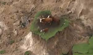 Viral video: Η ατυχία του να είσαι αγελάδα στον ισχυρότερο σεισμό των τελευταίων ετών