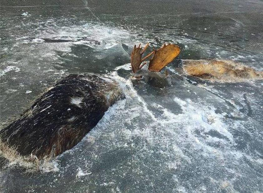 Απίστευτες εικόνες: Αρσενικά ελάφια πάγωσαν μέσα σε ποτάμι ενώ πάλευαν για το θηλυκό!