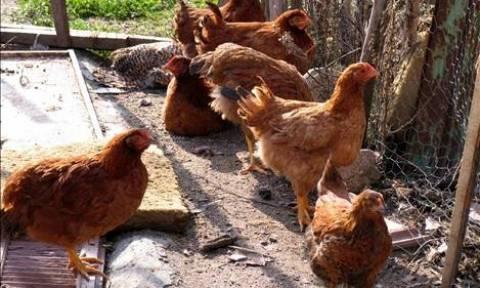 Δανία: Απαγορεύουν την εκτροφή πτηνών στο ύπαιθρο λόγω ανησυχίας για τη γρίπη