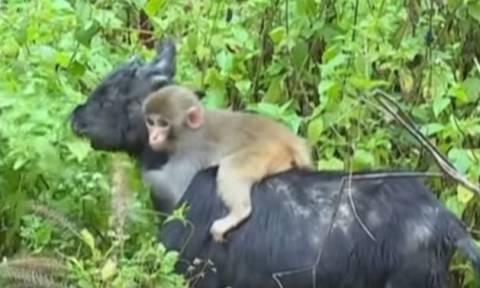 Αξιολάτρευτο μαϊμουδάκι επέλεξε ως μέσο μεταφοράς μία… κατσίκα! (video)