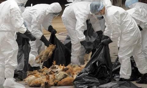 Συναγερμός - Σουηδία: Εστία γρίπης των πτηνών θα σφαγιαστούν 200.000 κοτόπουλα