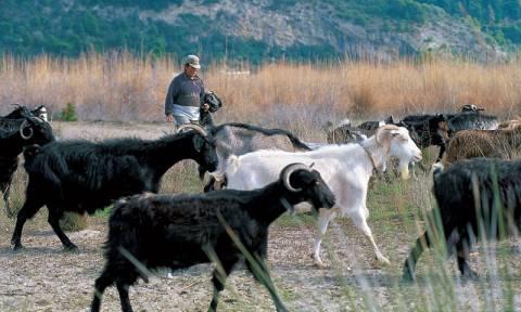Έκτακτη στήριξη 1,68 εκατ. ευρώ στους κτηνοτρόφους των νησιών του Αιγαίου