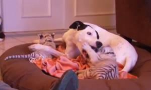 Σκύλος «υιοθέτησε» δύο εγκαταλελειμμένα τιγράκια! (video)