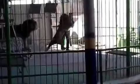 Βίντεο σοκ: Λιοντάρι τον δάγκωσε στο λαιμό και τον σκότωσε την ώρα της παράστασης!