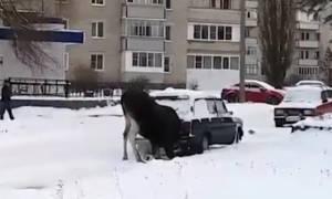 Ζώο... θεριακλής! Πιάστηκε στην κάμερα να ρουφάει την εξάτμιση του αυτοκινήτου (vid)
