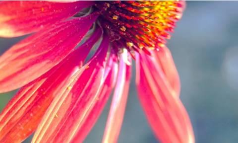 Εχινάκεια: Επτά ιδιότητες που πρέπει να γνωρίζεις