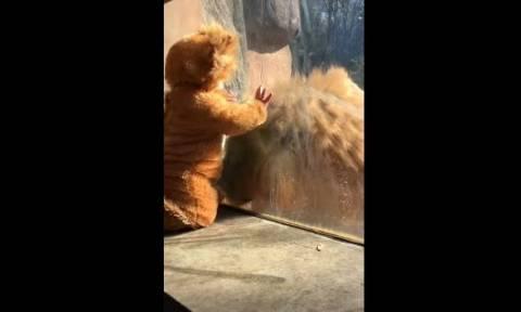 Πιτσιρίκι ντύθηκε λιοντάρι και τρέλανε τον βασιλιά των ζώων! (vid)