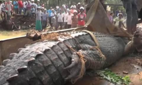 Εντυπωσιακό: Απελευθέρωσαν κροκόδειλο βάρους ενός τόνου στη Σρι Λάνκα! (vid)