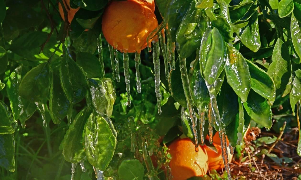 Αργολίδα: Σοβαρά προβλήματα στην αγροτική παραγωγή από τον παγετό (εντυπωσιακές φωτογραφίες)