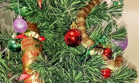Ενέδρα θανάτου από φίδι-τίγρη σε χριστουγεννιάτικο δέντρο – Δείτε απίστευτες φωτογραφίες