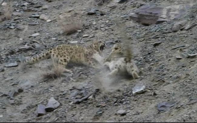 leopardali2
