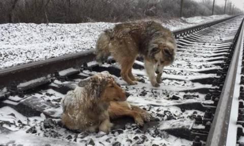 Σκύλος κράτησε ζωντανή 2 μέρες την τραυματισμένη φίλη του πάνω σε ράγες τρένου (vid)