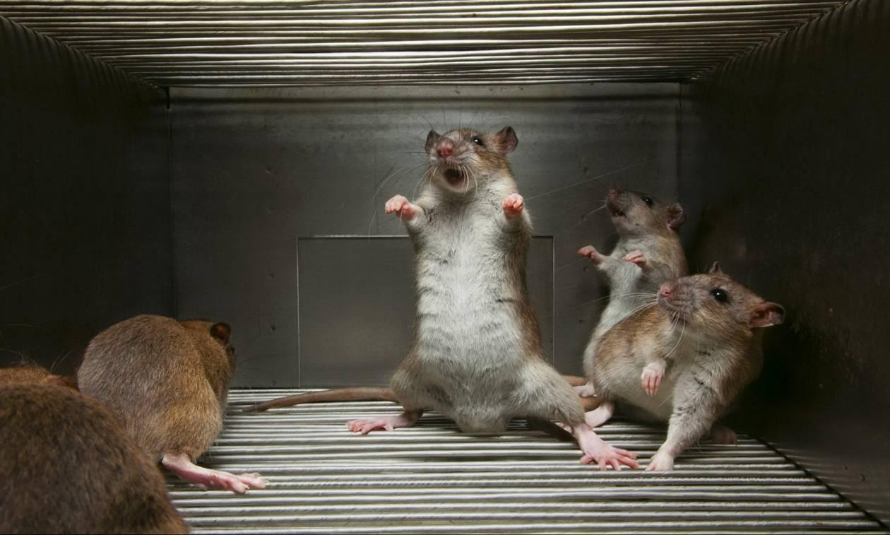 Αληθινές ιστορίες τρόμου: Επιστήμονες μετέτρεψαν άκακα ποντίκια σε ψυχοπαθείς δολοφόνους