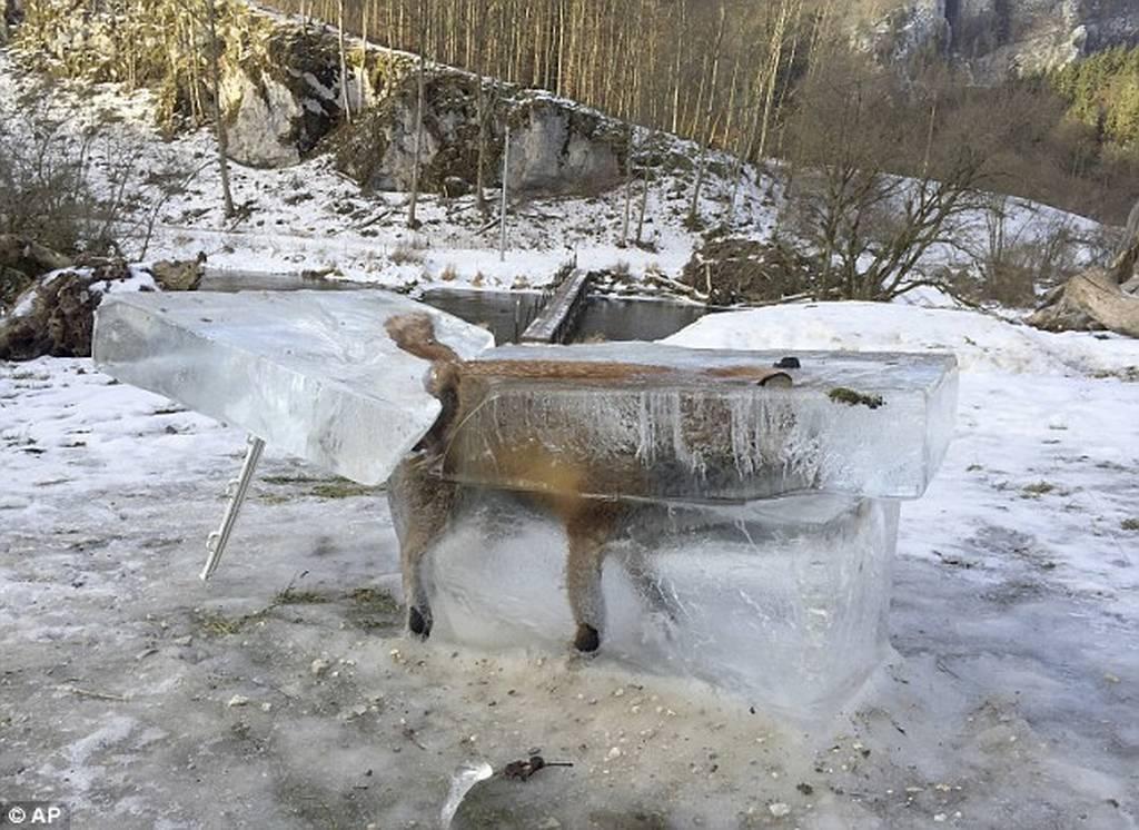 Απίστευτη φωτογραφία: Αλεπού έπεσε μέσα στο ποτάμι και τη βρήκαν... παγοκολόνα!