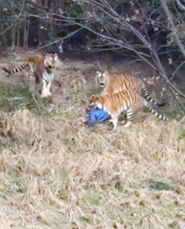 Φρίκη σε ζωολογικό κήπο: Τίγρεις κατασπάραξαν τουρίστα μπροστά στο παιδί του (ΣΚΛΗΡΕΣ ΕΙΚΟΝΕΣ)