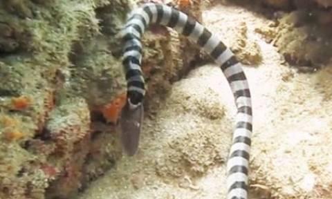Θαλάσσιο φίδι με 10 φορές πιο θανατηφόρο δάγκωμα απ' την κόμπρα, καταπίνει ολόκληρο χέλι (video)
