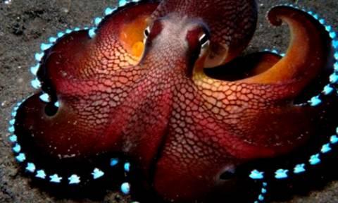 Τα 19 πιο...παράξενα πλάσματα της θάλασσας: Εχετε δει ποτέ... φωσφοριζέ χταπόδι; (video)
