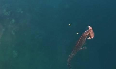 Συγκλονιστικό βίντεο: Κροκόδειλος κολυμπά στον ωκεανό με ένα γουρούνι στο στόμα!