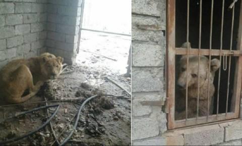 Μια αρκούδα κι ένα λιοντάρι αργοπεθαίνουν σε ζωολογικό κήπο της Μοσούλης (pics)