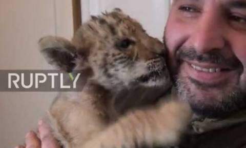 Ο Τσάρος λίγρης, το σπάνιο ζώο που «βασιλεύει» στο πάρκο του Ροστόφ (video)