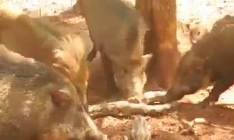 Συγκλονιστικό βίντεο: Αγριογούρουνα παίρνουν εκδίκηση από πύθωνα που έφαγε ένα από τα μικρά τους