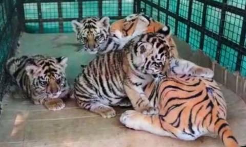 Ινδία: Τρία νεογέννητα τιγράκια απέκτησαν μια πλαστική κούκλα για μητέρα τους! (video)