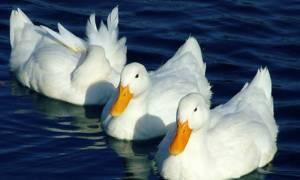 Γαλλία: 600.000 πάπιες θα θανατωθούν λόγω εξάπλωσης του ιού γρίπης των πτηνών