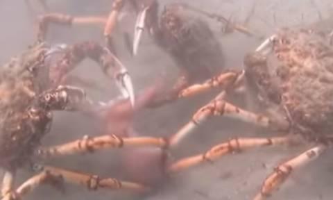 Η αδυσώπητη σκληρότητα της φύσης: Η μάχη ανάμεσα σε καβούρια και καλαμάρια που θυμίζει ταινία τρόμου