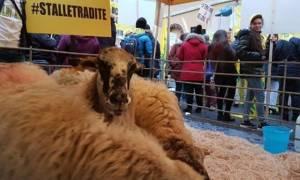 Τι δουλειά έχουν δεκάδες πρόβατα έξω από το ιταλικό κοινοβούλιο; (photos&video)