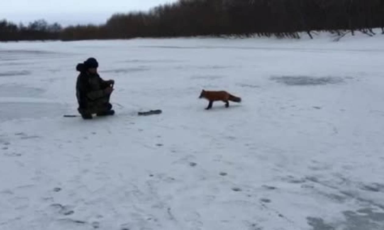 Πονηρή αλεπού κάνει τα πάντα για να πάρει το ψάρι που της προσφέρουν οι ψαράδες (video)
