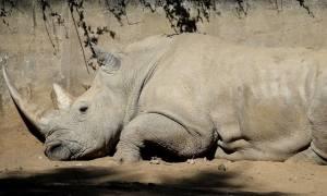 Γαλλία: Σοκ από τη δολοφονία ρινόκερου σε ζωολογικό κήπο! (vid)