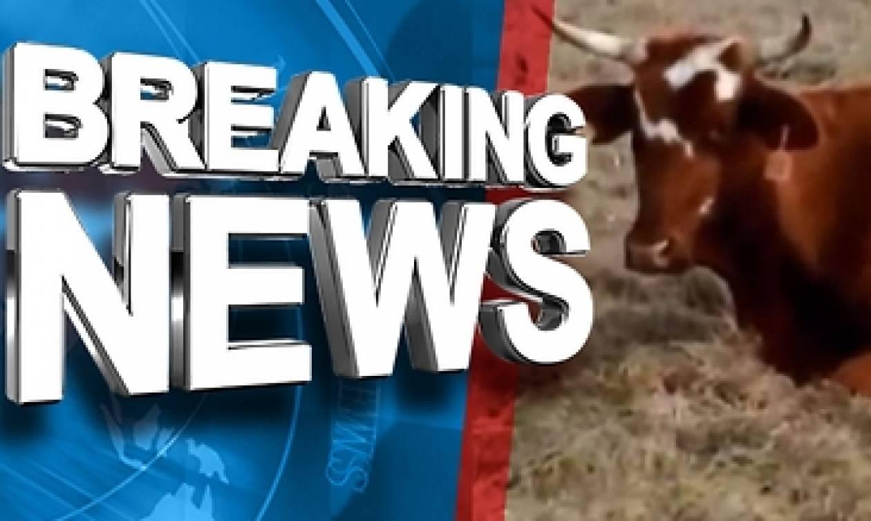 Τα έχασε όταν είδε την αγελάδα του να γεννάει... Οι πιθανότητες ήταν μία στα 11 εκατομμύρια (video)