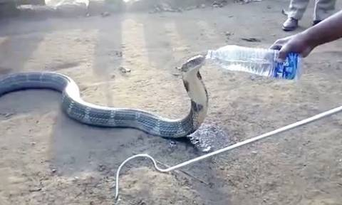 Viral: Φονική κόμπρα πίνει νερό από μπουκάλι και τρελαίνει το διαδίκτυο (Vid)