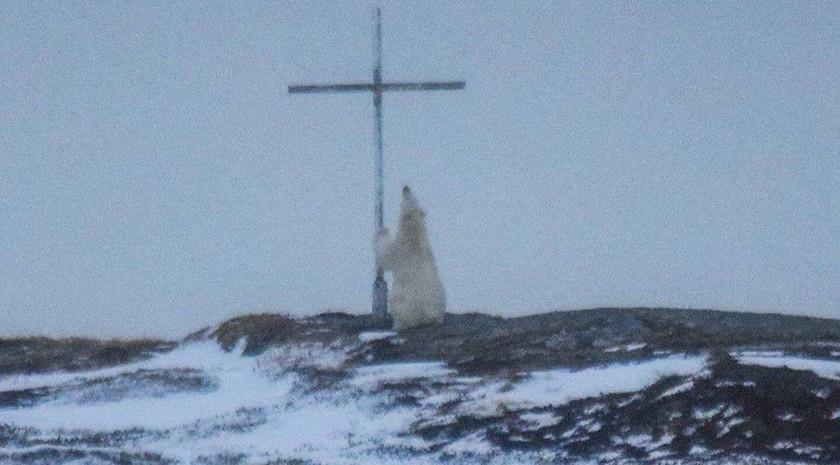 Οιωνός; Μυστήριο με πολική αρκούδα που «προσεύχεται» σε σταυρό