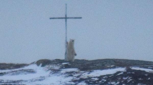 polar bear canada cross